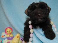 Beautiful small AKC Mini Schnauzer puppy, liver male