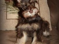 This attractive AKC Small Toy Miniature Schnauzersuper