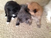 Tiny, cosy, and sweet AKC Pomeranian puppies! All three