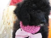 AKC little conventional poodle young puppy,. she is my