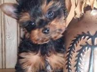 Small Yorkie Male puppy is ready for his new home. He