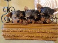 I have 3 Yorkies they are AKC Registered they are up