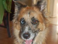 Tiana is a small 3 year old Australian Shepherd. She is