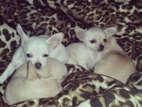 Adorable small breed Chihuahua puppies for sale, this
