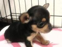 I have small Chihuahua puppies searching for new
