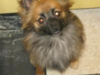 This very pretty girl is a long-haired chihuahua,