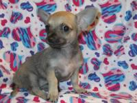 I Have 1 female CKC registered small Chihuahua Puppy