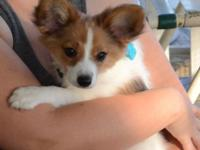 LOWER PRICE ~ to $500. We have one male Papillon