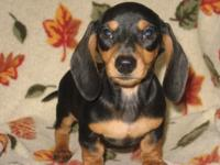 We have one AKC black/tan shorthair guy available. He
