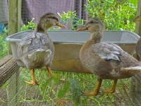 I have 4 call ducks for sale. 3 are young just now