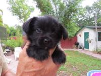 Small female puppy available April 22. $450. Loving,
