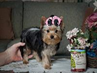 Female Yorkie #8567, DOB 2/10/12, weight is 2 lb. 12