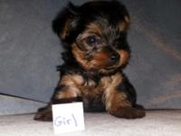 Small women Yorkshire Terrier young puppy. She was born