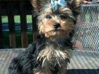 Very sweet little girl yorkie born July 31, 2013.