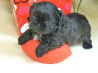 This is a Tiny Imperial Shih Tzu puppy Born 12-31-2013.