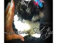 Meet Dolly an AKC Imperial Shih tzu puppy! She is utd