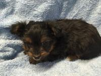 I have an adorable Yorkie poo male puppy that will be 8