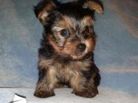 ACA registered Little Yorkie guy puppy. Birthed April