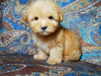 I have 2 Male and 2 Female Maltipoo puppies looking for