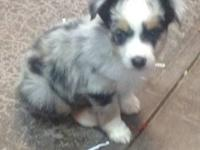 I have two Mini Aussie! Both are blue Merle's! the are