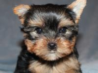 Animal Type: Dogs Breed: Yorkshire Terrier Three