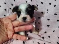 Pretty yorkie female Nice markings Teddy bear face