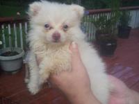 i have 2 litters of small pomeranian puppies , total of