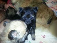 Pomeranian puppies 6 weeks old now. Have papers. Am