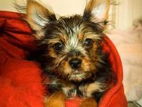 Shorkie - mix of Yorkshire Terrier and Shih Tzu Armani