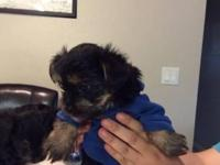 We have beautiful Teacup Yorkie puppies awaiting new