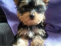 Hello.we have very cute teacup female yorkie, she will
