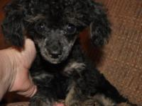 I have a 4 month old very tiny toy male phantom poodle.