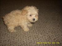 Reg. Toy Poodle Puppies: Shots are up to date; Puppies