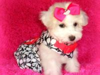Small toy female white Poodle, baby doll face,
