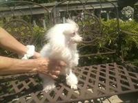 angel joy is a small toy white female poodle puppy 10