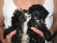 2 Male small toy poodles. 8 Weeks old. Have had shots