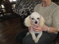 "1 small white AKC toy poodle male, ""PROVEN BREEDER"","