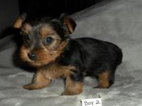 ACA registered, Yorkie puppies. I have 2 males for $800