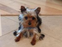 V6 month old CKC lady Yorkie. Around date with all