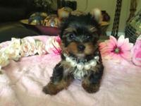 Very pretty Yorkie female Carries Parti genes Ready to