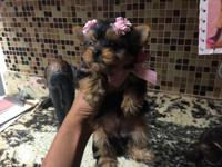 Small Yorkie female Black and Tan Amazing coat Sweet