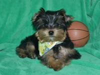 Adorable AKC Male yorkie to pet home. He will certainly
