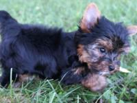 Top quality male yorkie. ACA registered. Please note