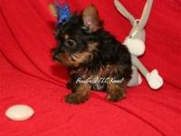BEAUTIFUL SMALL TYPE PICK OF LITTER YORKIE