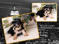Yorkie Puppies 4 males 2 females. Tails docked, Dew
