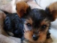 Small yorkies charting 4-6 pounds. Born May 15th,