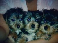 Yorkies puppies size Small 3males Available $500each