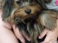 I have an adorable Yorkshire terrier puppy for sale.