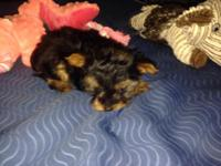 Small yorkies male. Very sweet and playful. He come