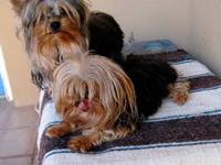 Beautiful AKC adult female Yorkie born 2/25/2007. She